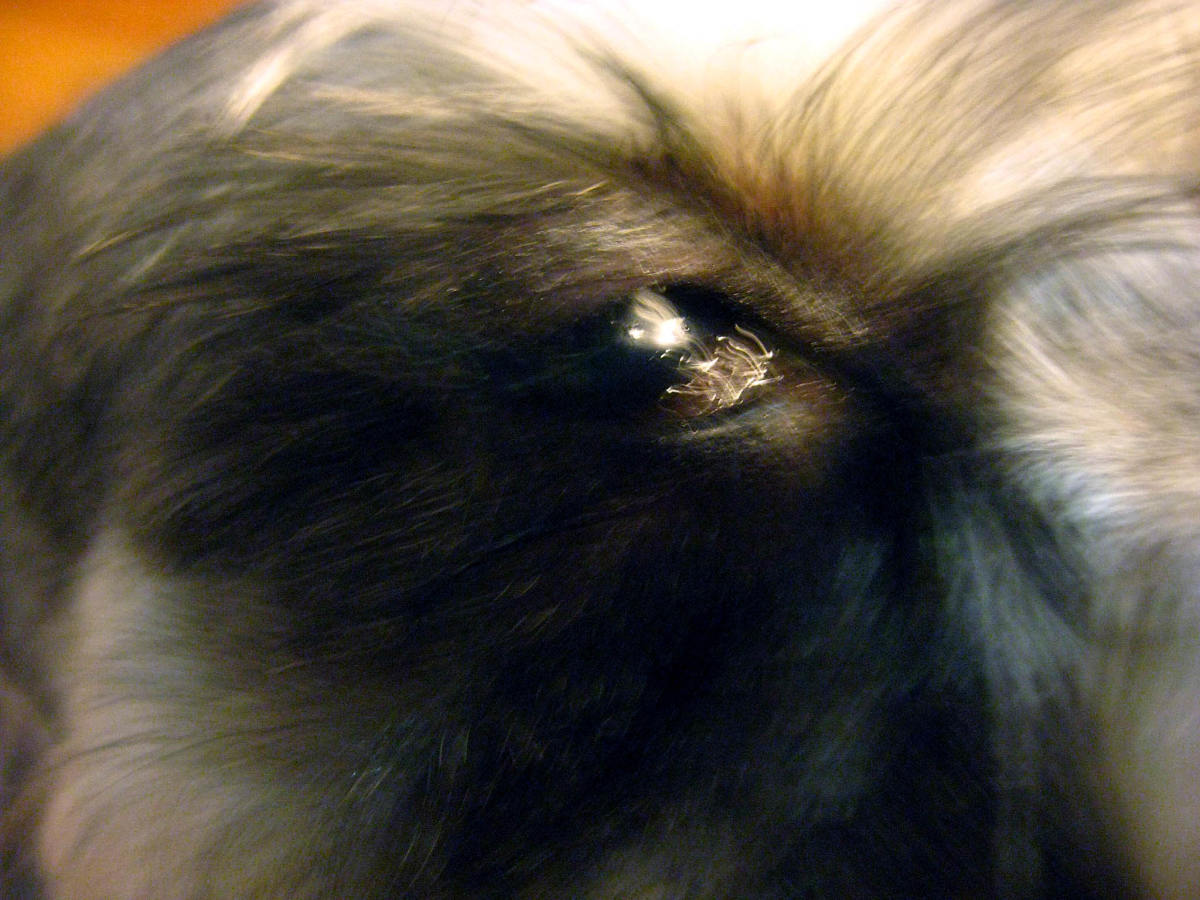 "Puppy Girl's eye—dry and inflamed with a discharge of thick ""gunk."""