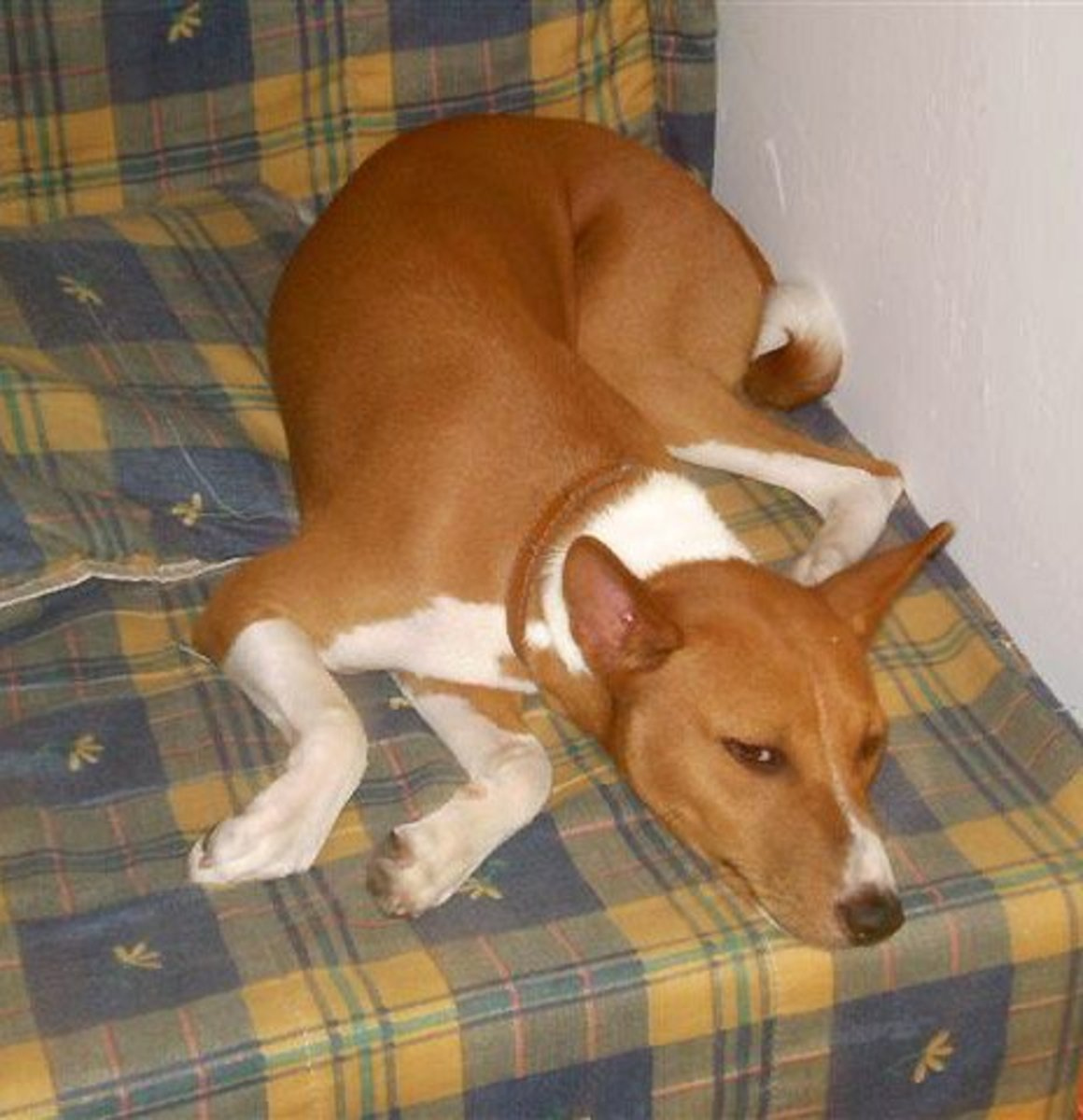 Basenjis are one of the best small breeds in an apartment.