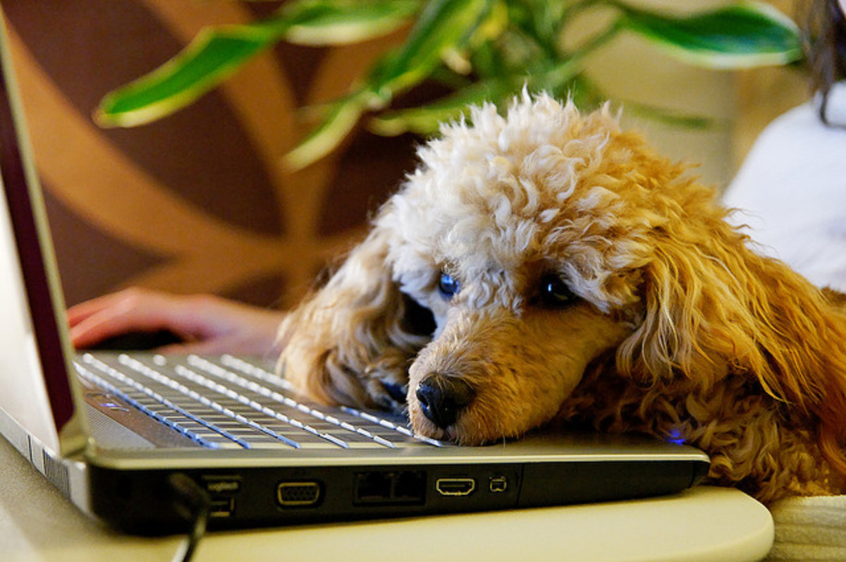 The Toy Poodle is an intelligent breed and learns tricks quickly.