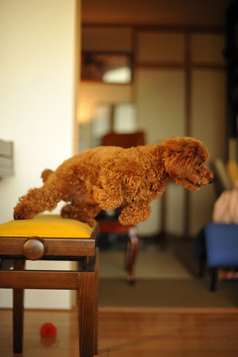Toy Poodles are active and acrobatic.