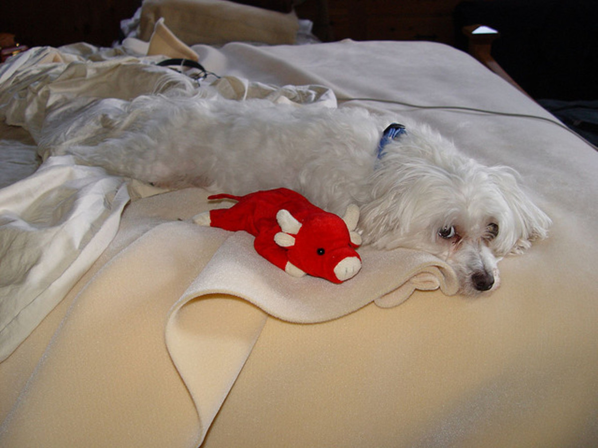 A Maltese relaxing at home.