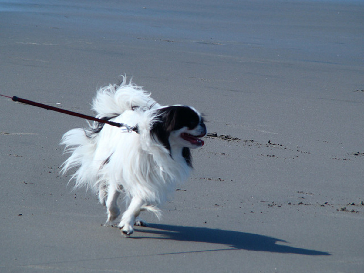 A Japanese Chin on the beach.