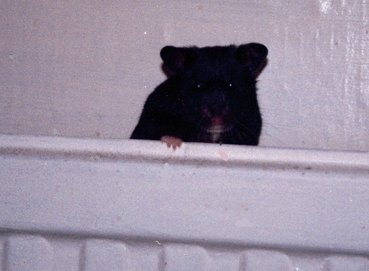 Black Syrian Hamster. Black is a recessive gene in Syrian hamsters.