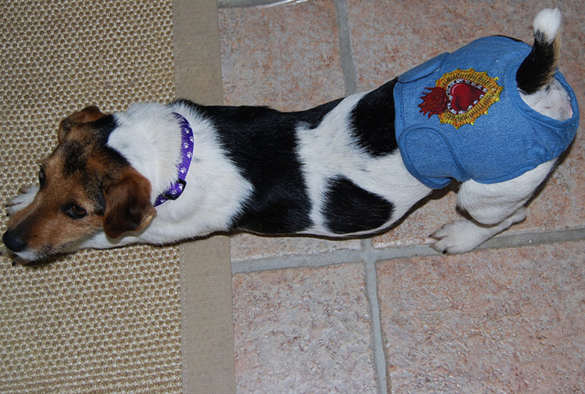 Doggie diapers are a way to prevent spotting around the house.