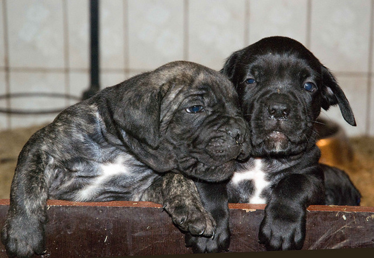 Socialization of your Cane Corso puppy should start early.
