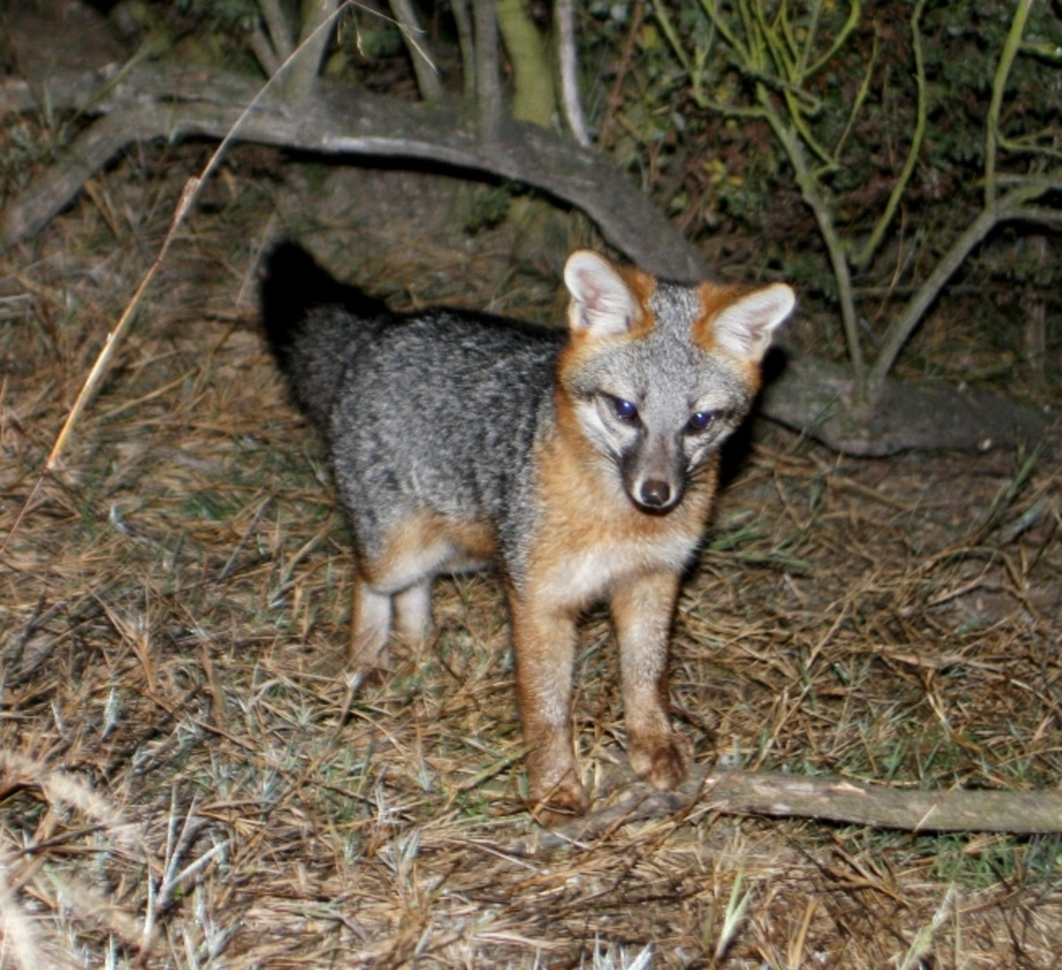A gray fox photographed in California