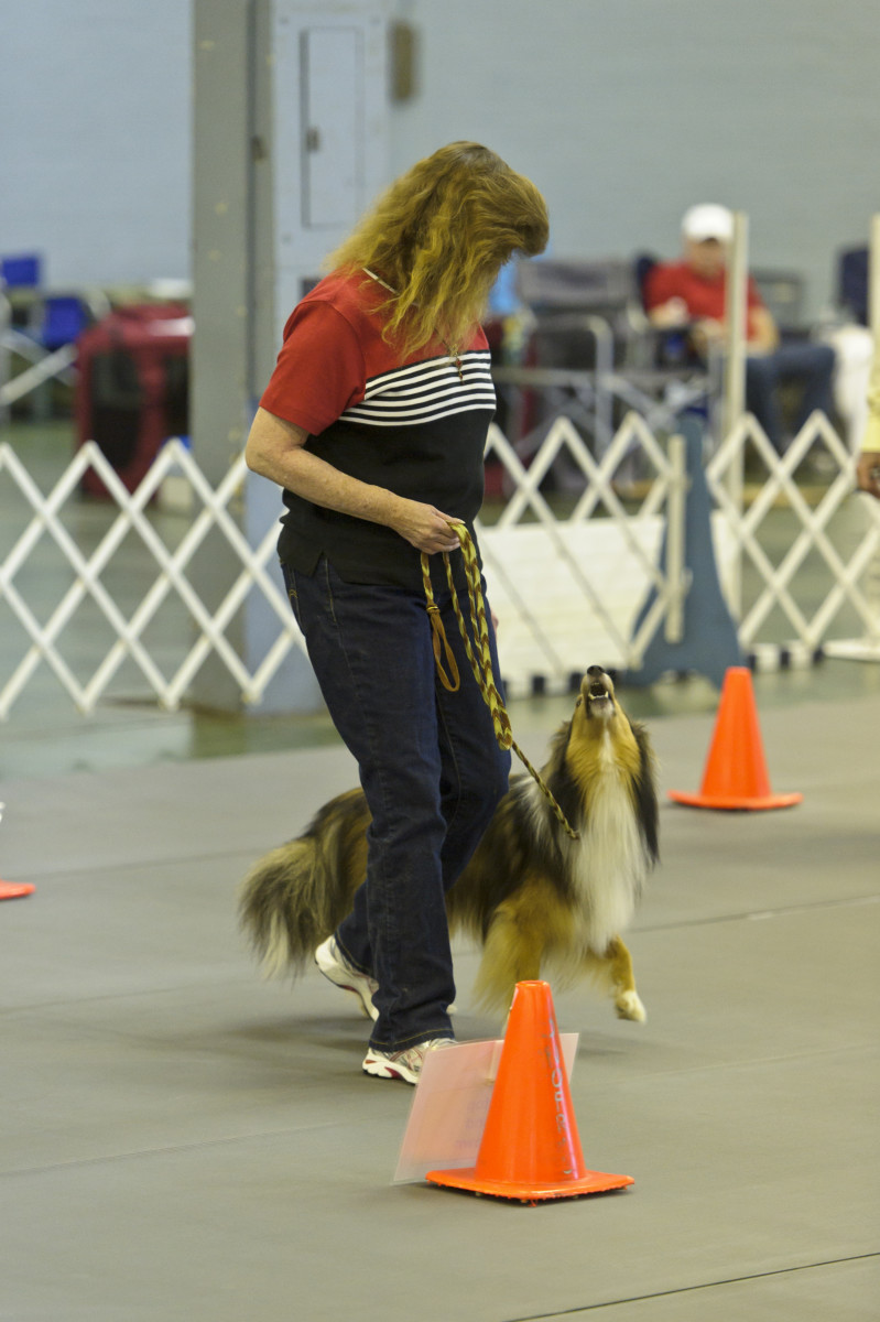 A young dog heeling next to his owner in a Rally Obedience competition.