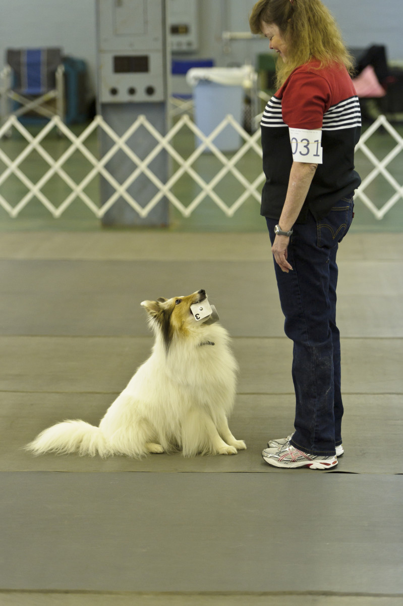 A color-headed white sheltie finishing a scent discrimination exercise at a competition obedience trial.