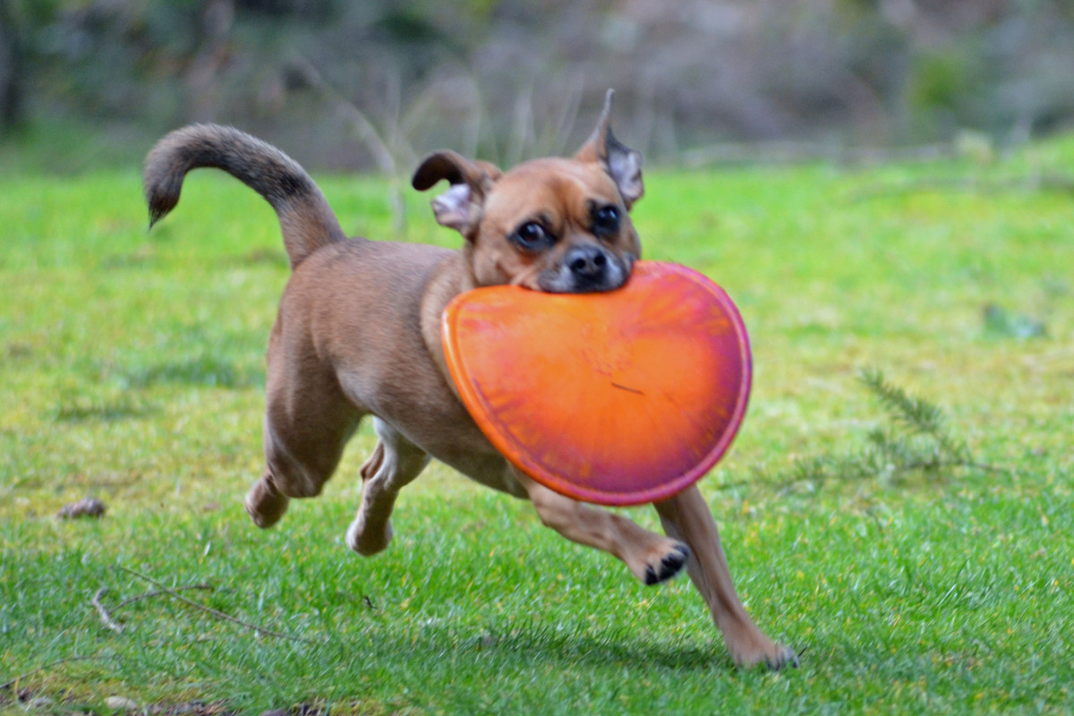 While my daughter's puggle Molly is 1/4 the size of my dogs---she requires extreme exercise so pet sitting is relative.