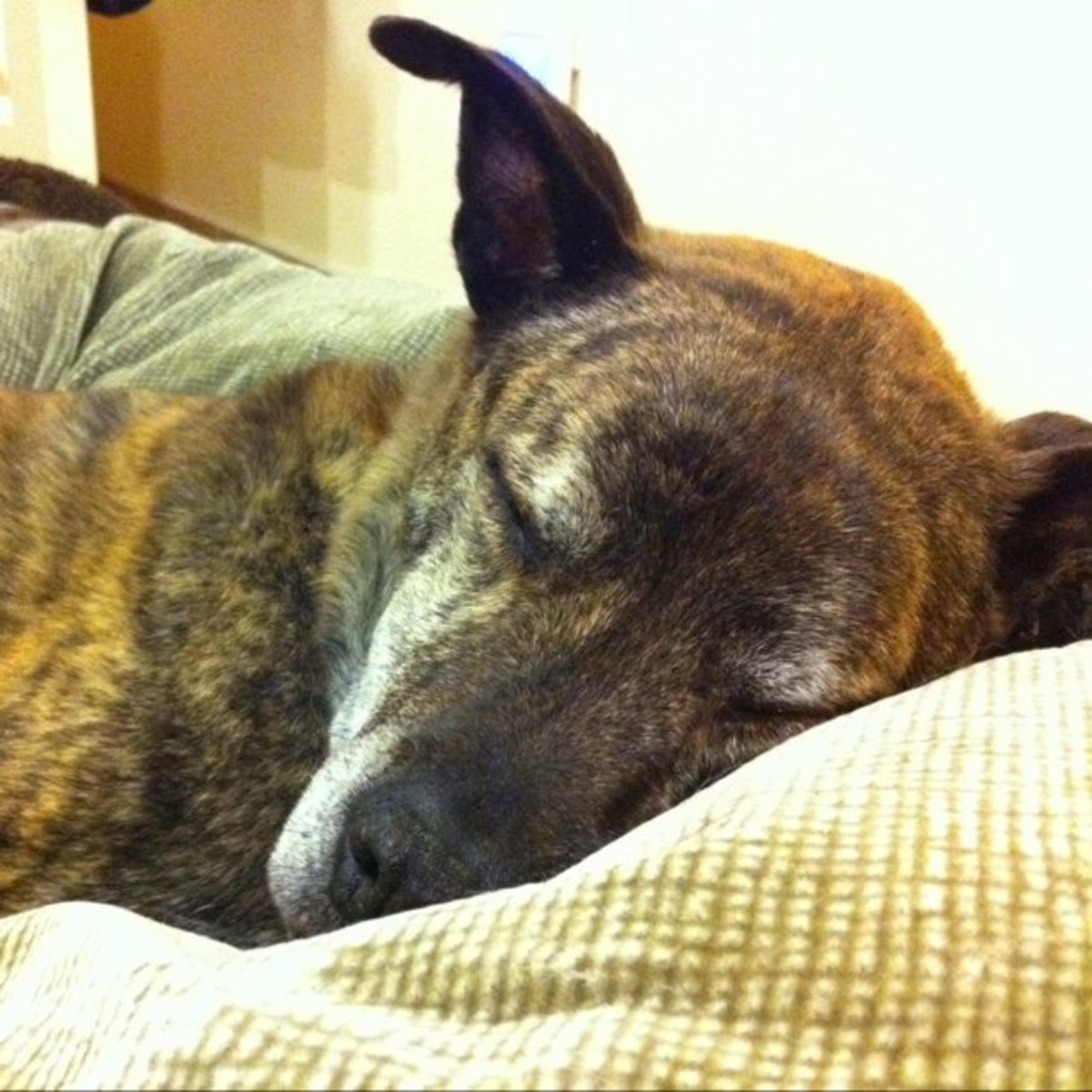 The Old Dog Syndrome |How to Help a CCD Dog at Home
