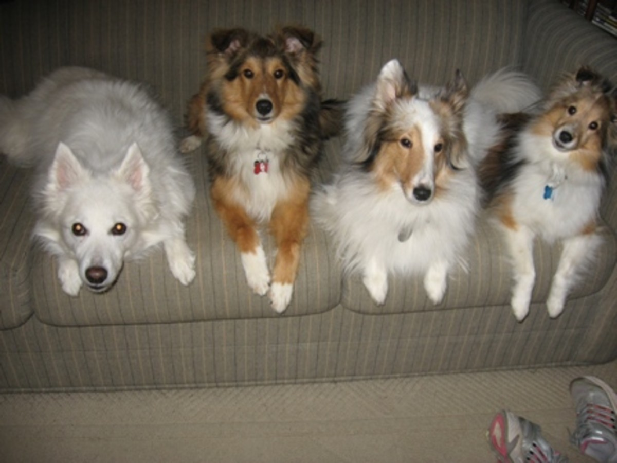 All four of the author's dogs have the CGC title.