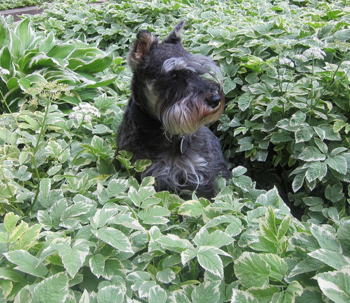 Exercise your Miniature Schnauzer in the fields.