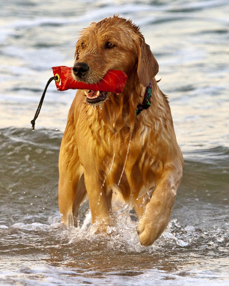 Golden Retrievers love to play in the water.