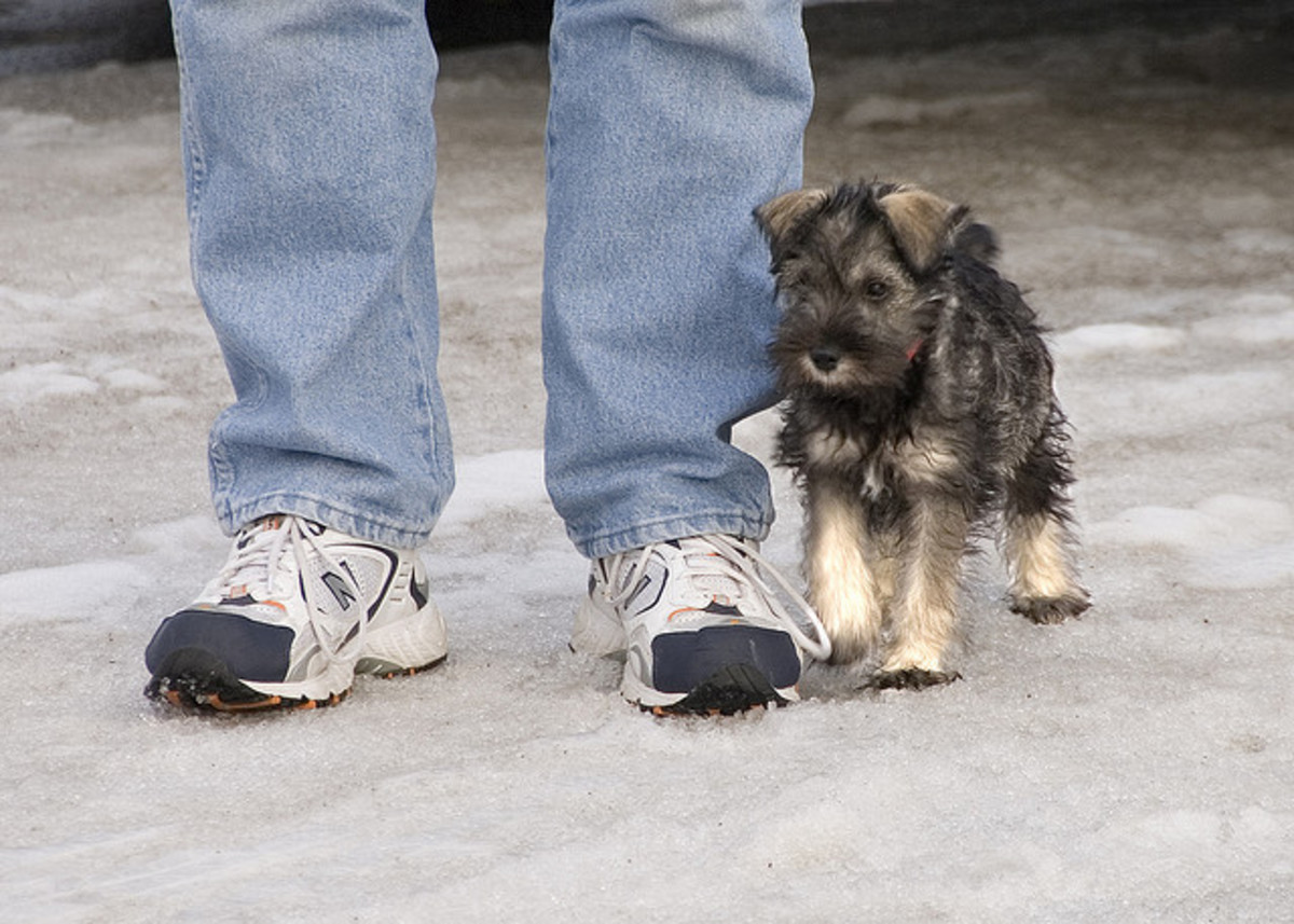 If you find a Miniature Schnauzer for your kids, bring him home when still young.
