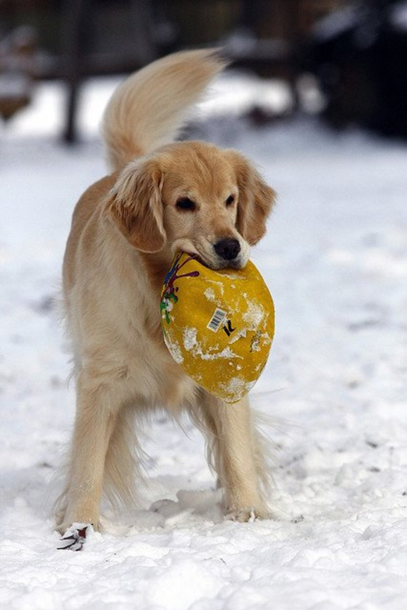 Golden Retrievers love to play ball.