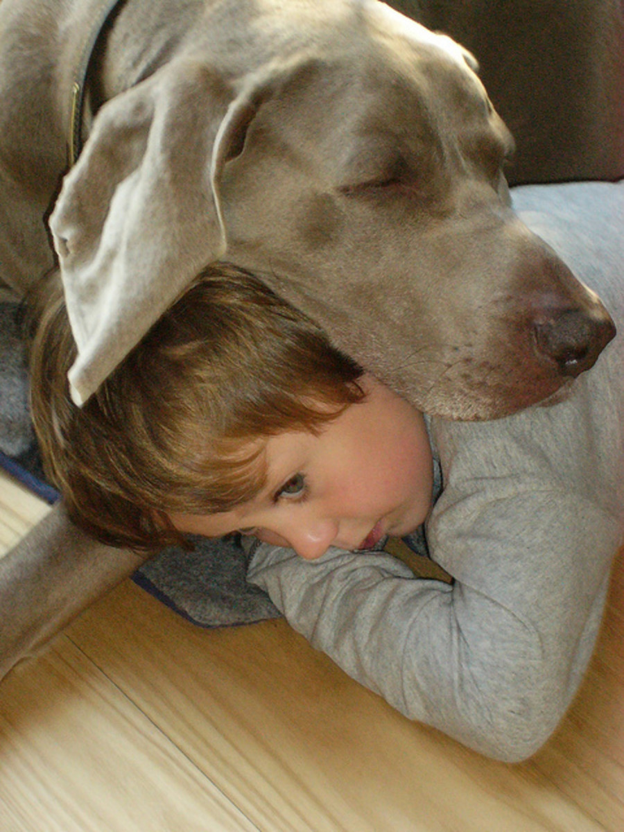 But Weimaraners also love kids who act as pillows!