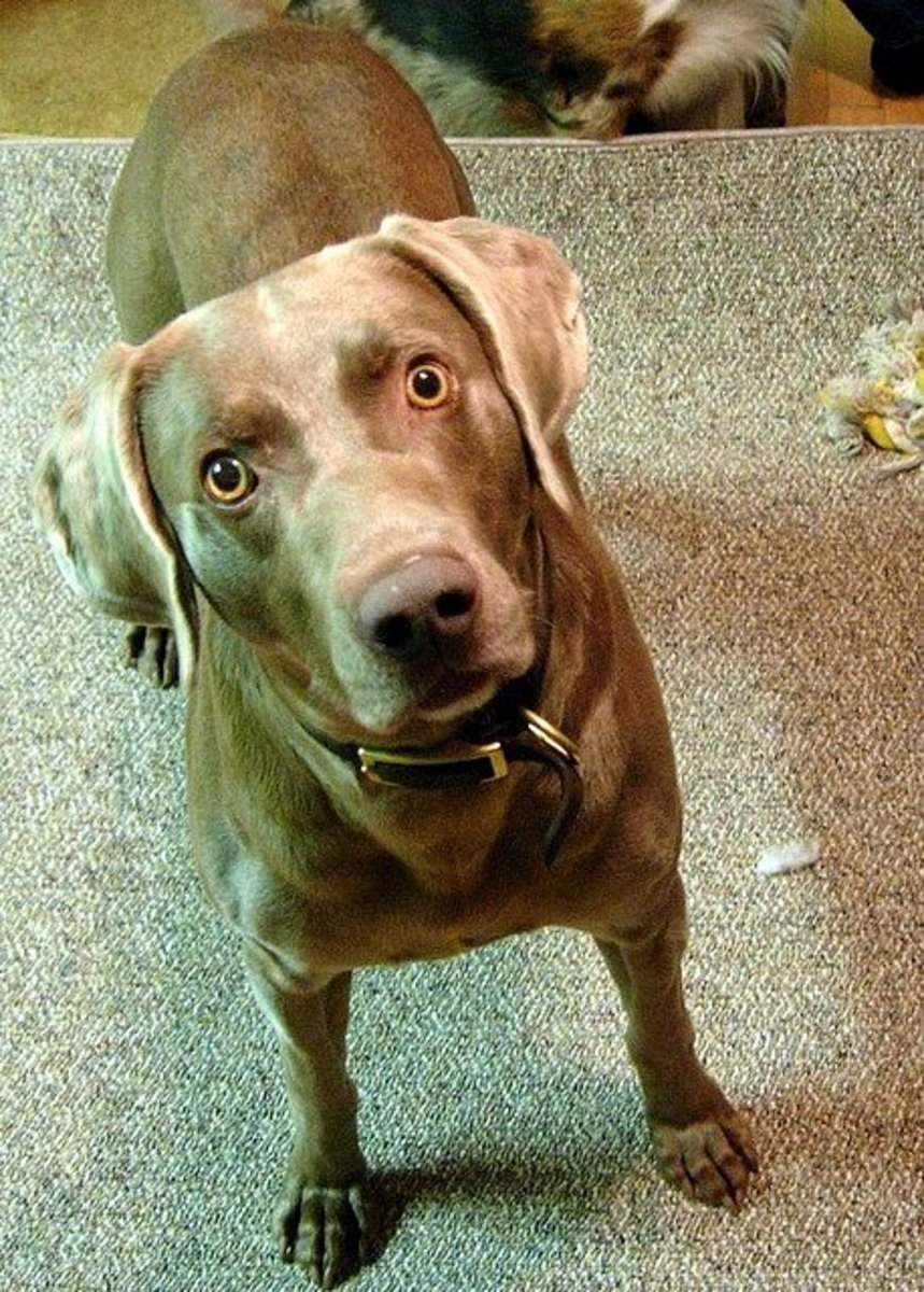 Weimaraners are alert and active dogs.