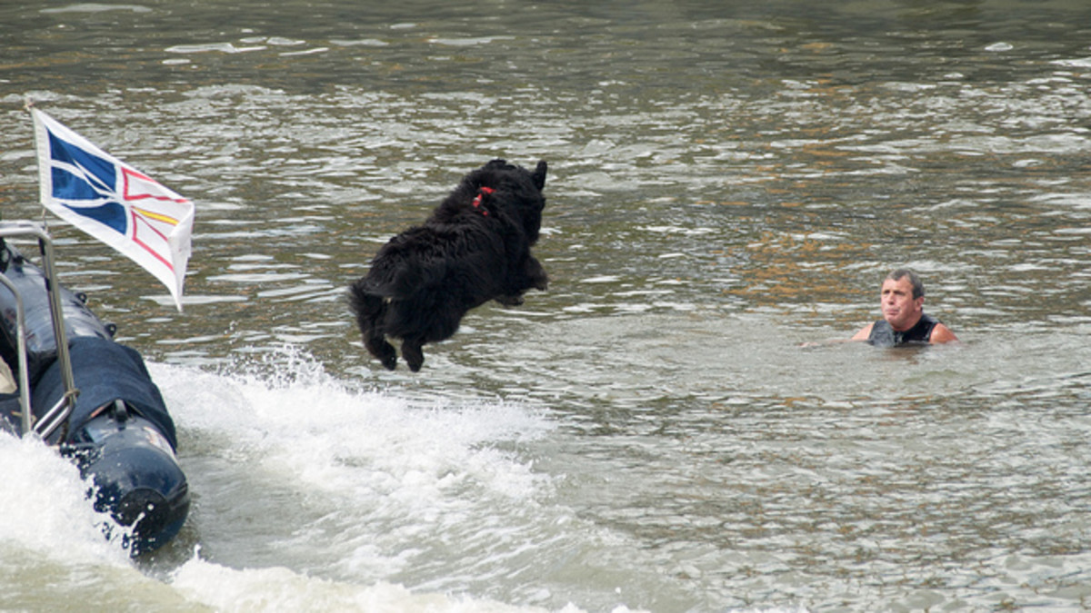 A Newfoundland jumping to the rescue.