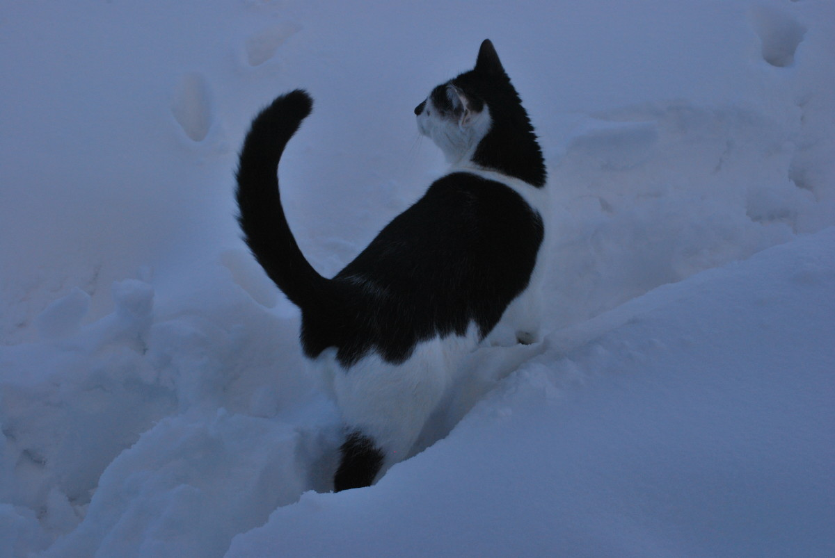 """Tail up and curved: """"Hmm, this white stuff is interesting."""""""