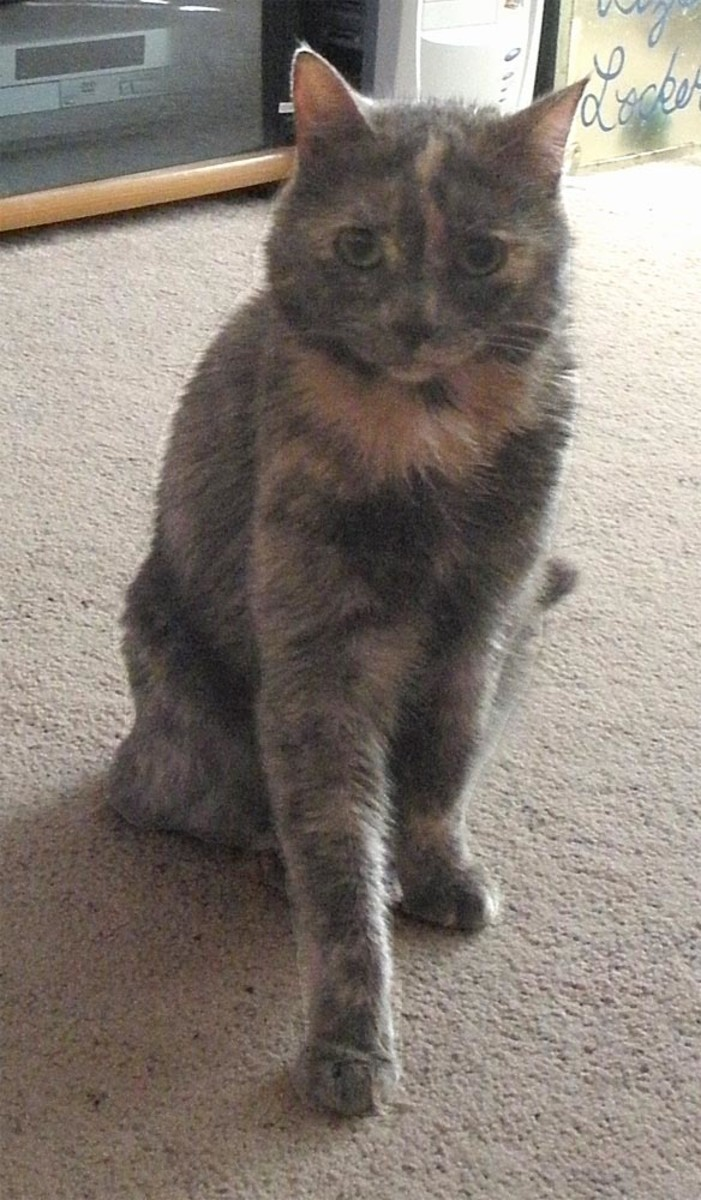 She was such a beautiful dilute smoke tortie, and quite the scamp as a kitten; she used to climb my husband and sit on his head!