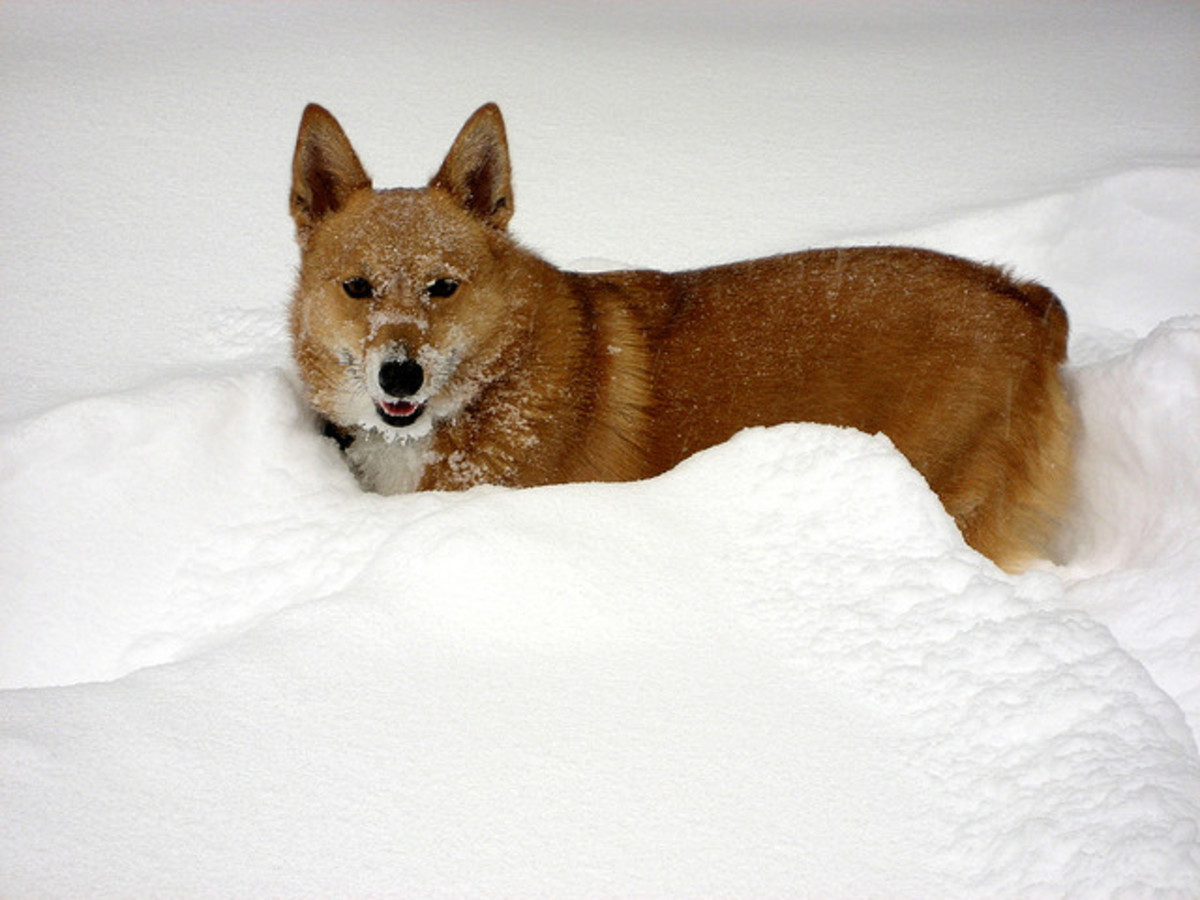 A Corgi out in the snow.