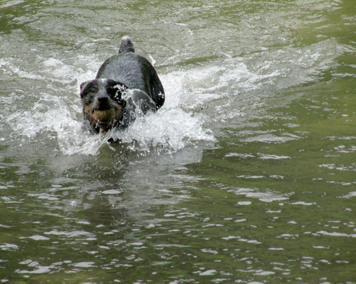 Although ACDs are not water dogs, they enjoy it.