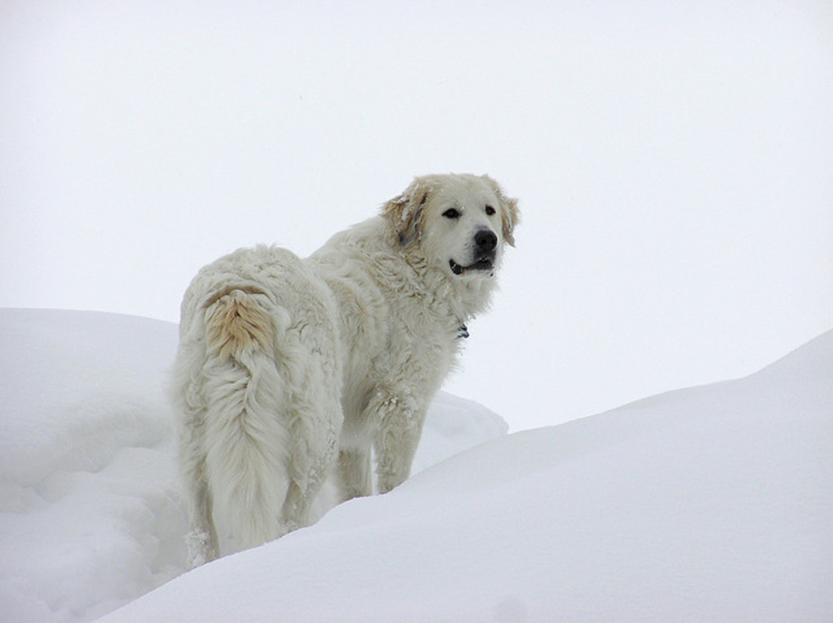 A Great Pyrenees enjoying the weather.