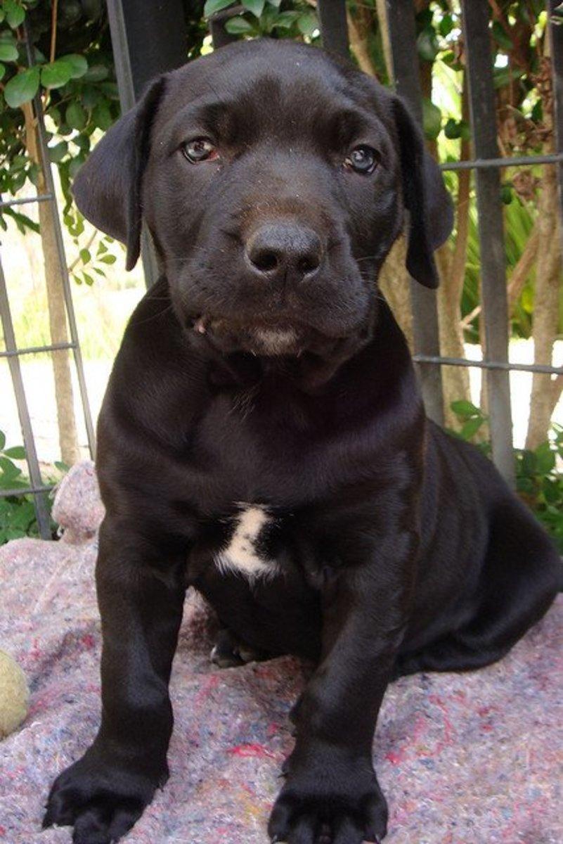 A Fila brasileiro puppy.