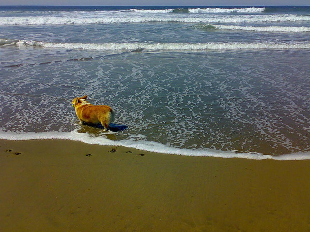 A Welsh Corgi at the beach.