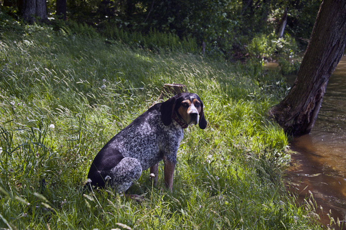 A Bluetick Coonhound taking a break.