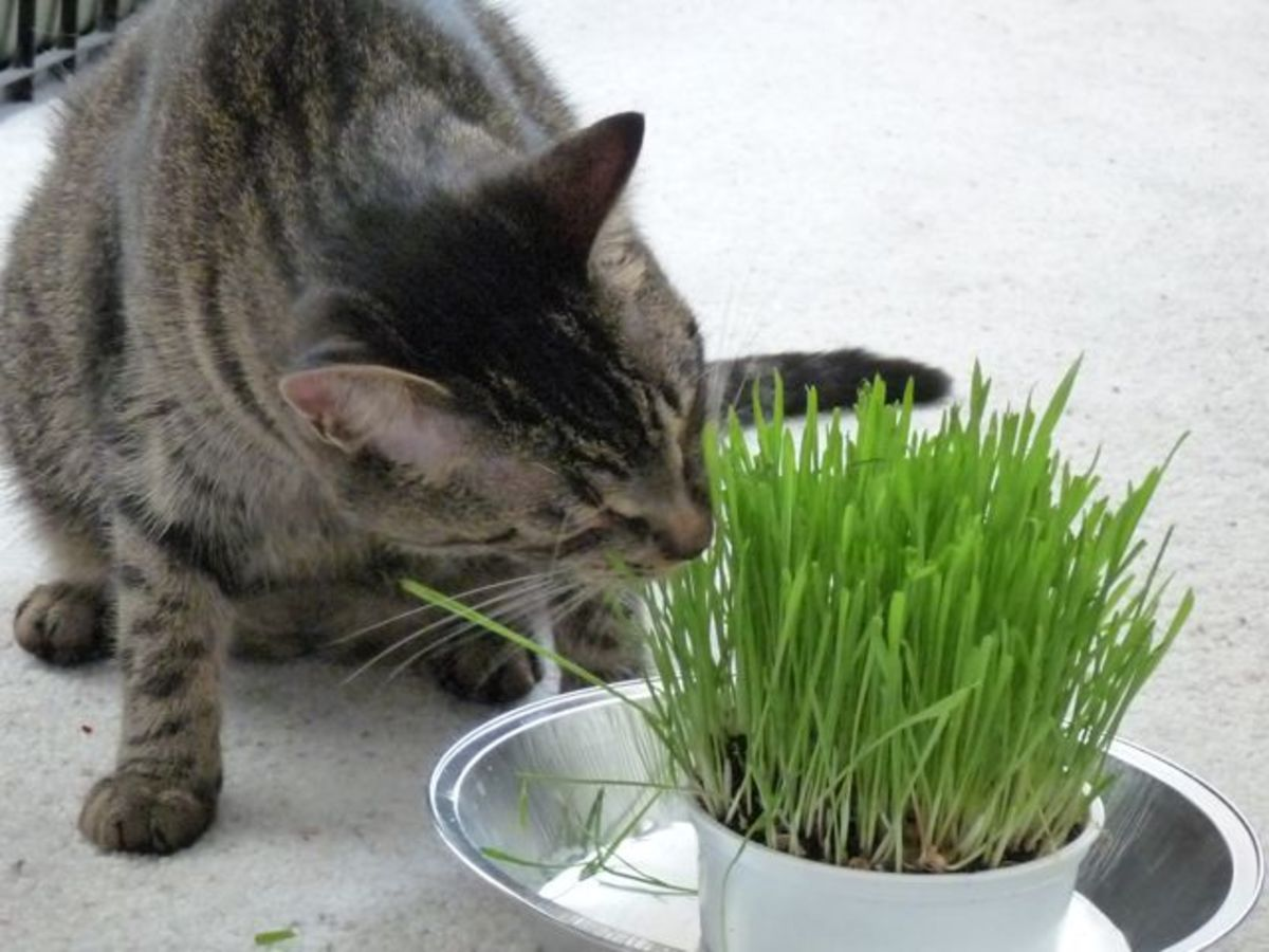 Munching on cat grass.