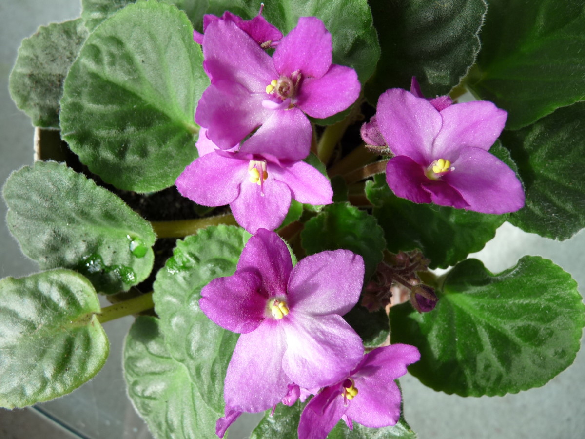 The African Violet is a cat-safe plant.