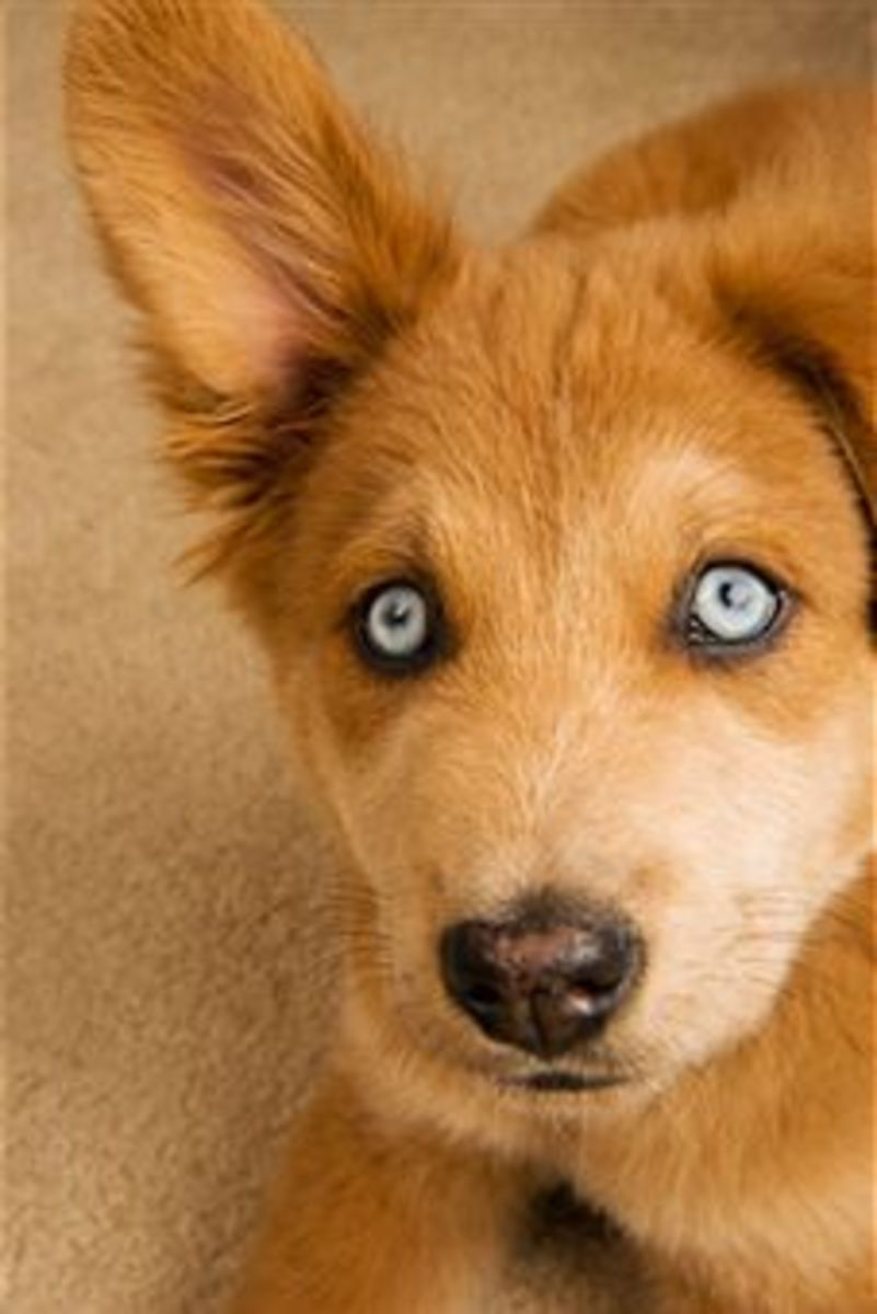 Dog with Uveitis