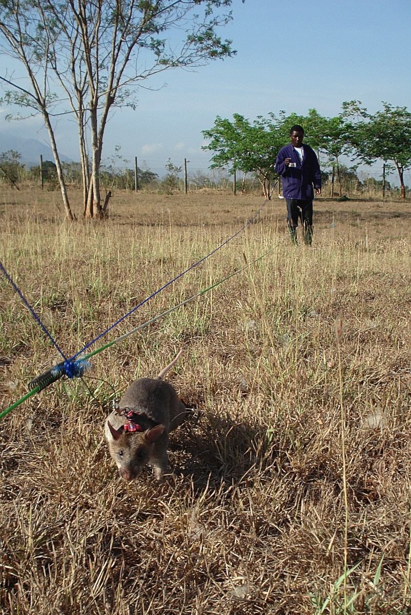 A Gambian pouched rat searching for mines