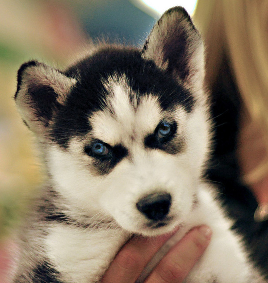 A Siberian Husky puppy with blue eyes and the amazing facial markings seen in the breed.
