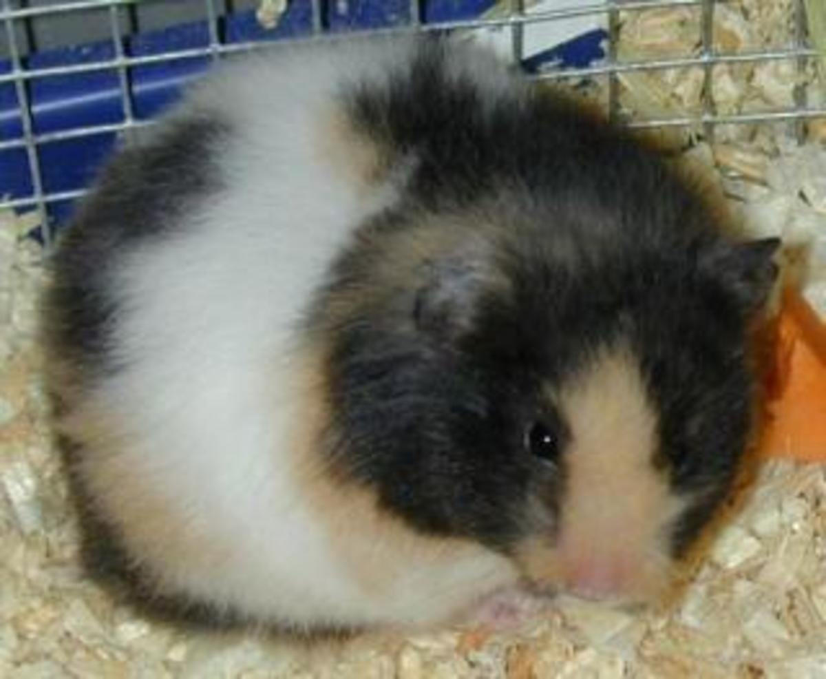 A Calico Syrian Hamster