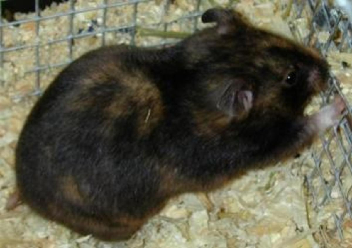 A Tortoiseshell Syrian Hamster