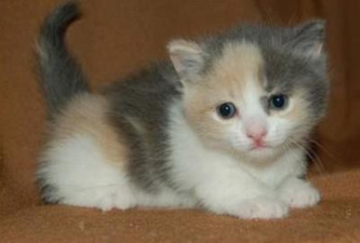 A dilute calico—note the gray and tan as opposed to black and orange markings.