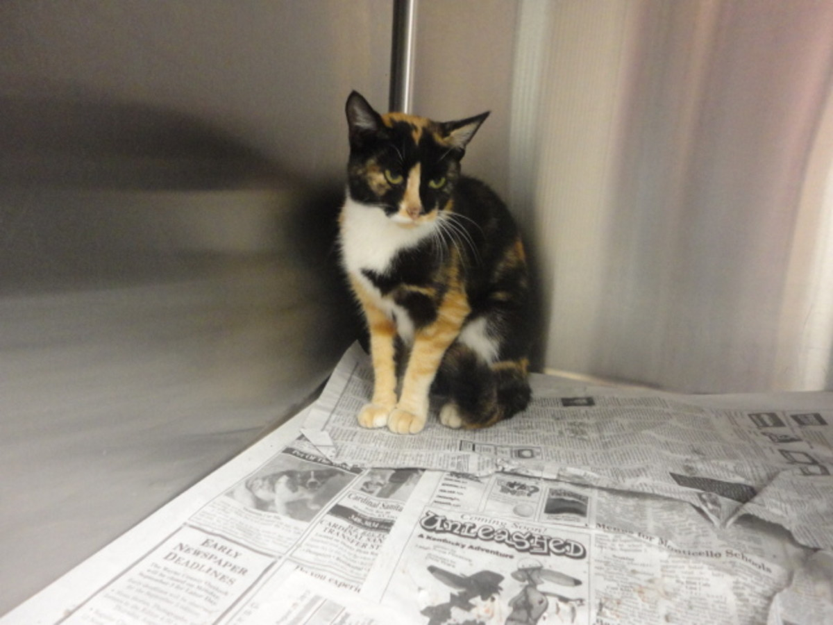Calico cats are frequently an easy-find at shelters if you are considering adoption.