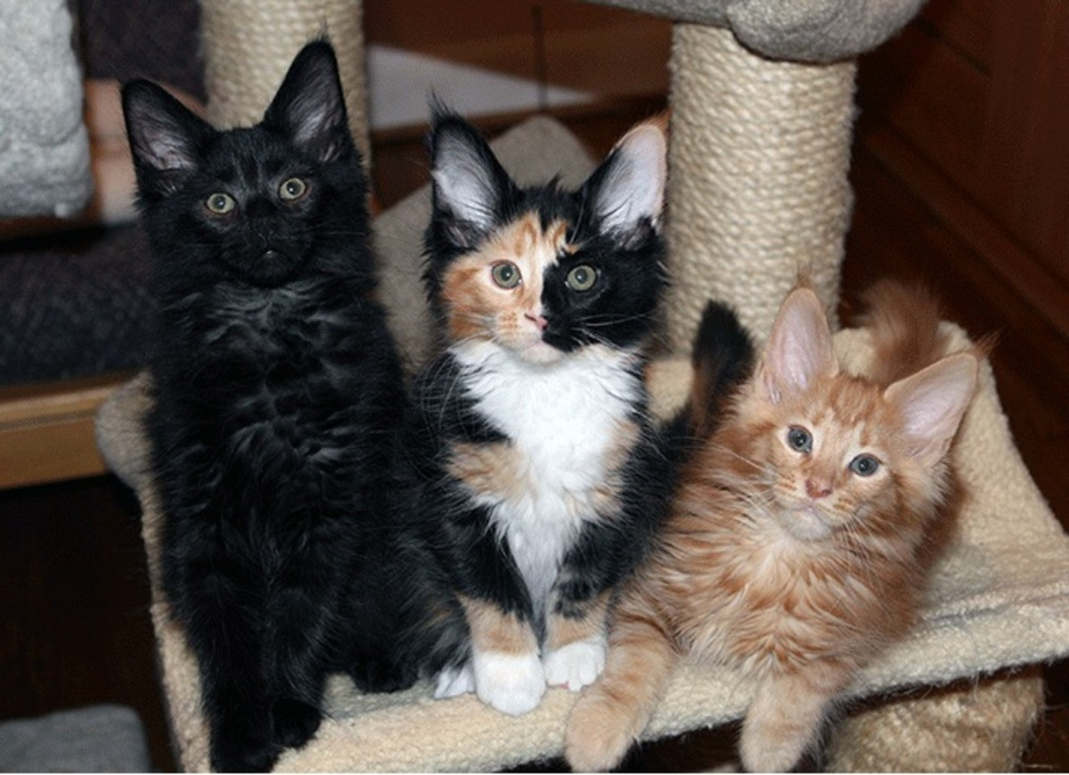 These Maine Coons show that calico coloration can be found in many pure breeds.