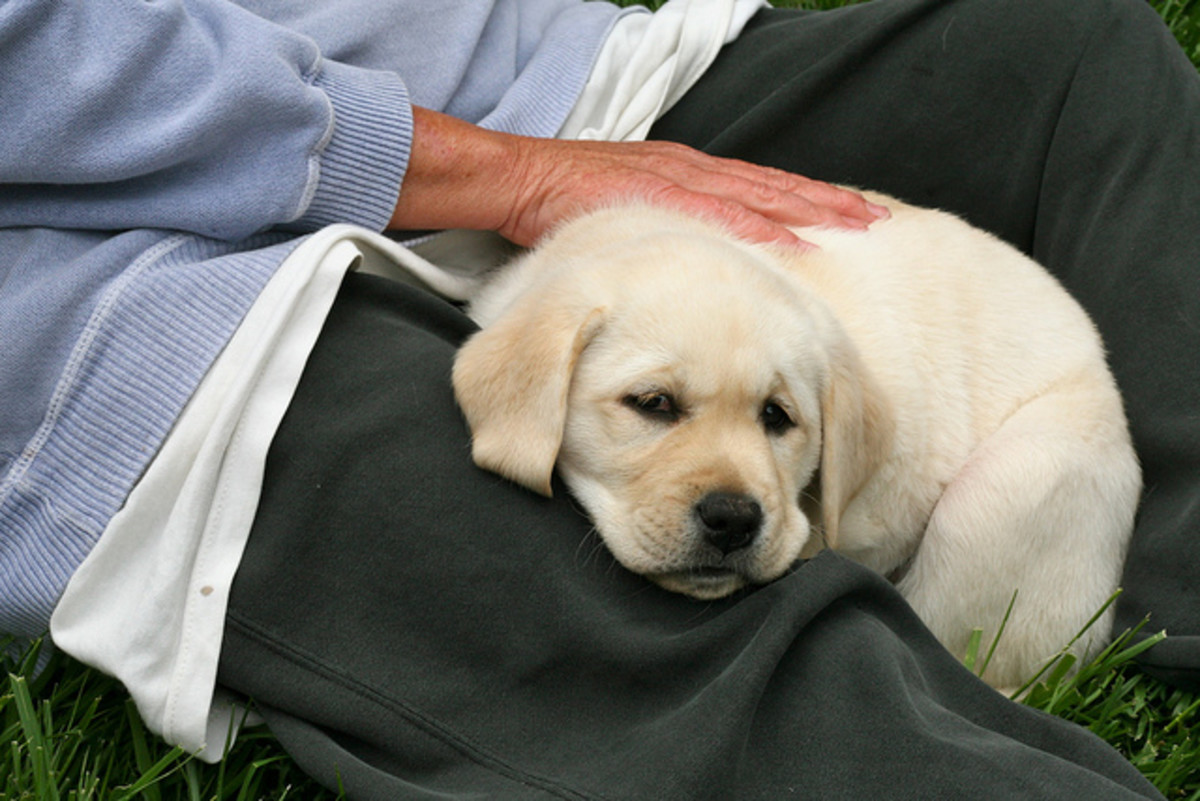 The Labrador Retriever is a popular large dog.