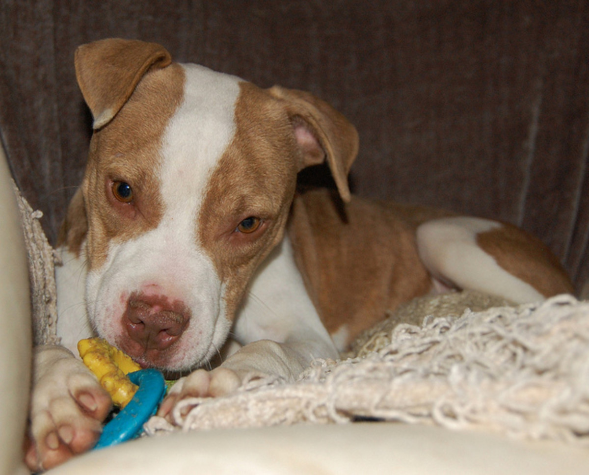 Pit bull puppies come in all sorts of colors but some insurance companies will not cover families with these pets.