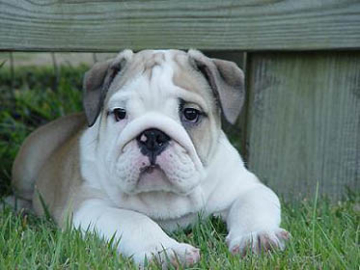 The English bulldog is expensive and health care expenses can also be high.