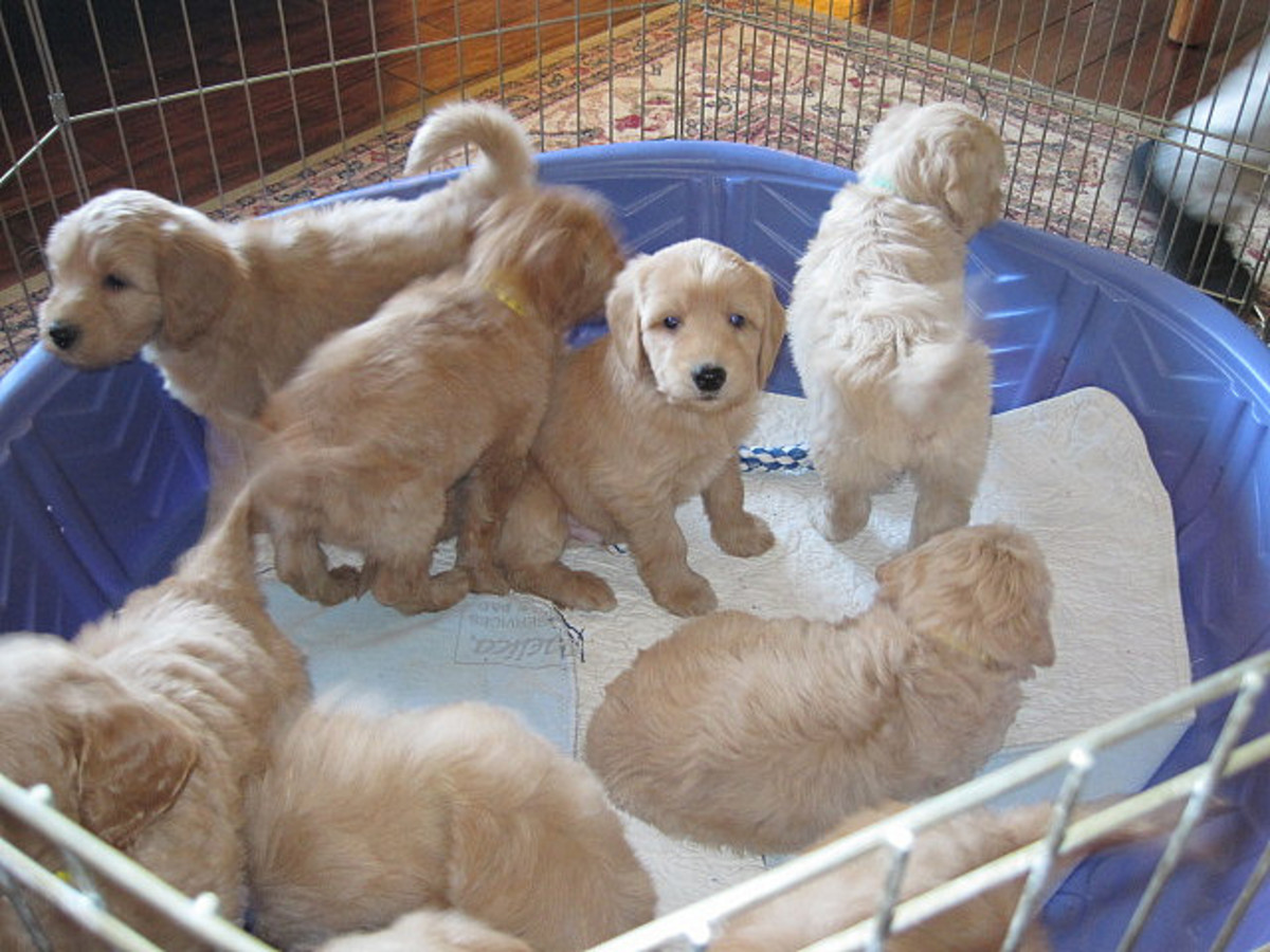 """The Labradoodle is a """"designer dog"""" produced by crossing a Poodle and a Labrador Retriever."""