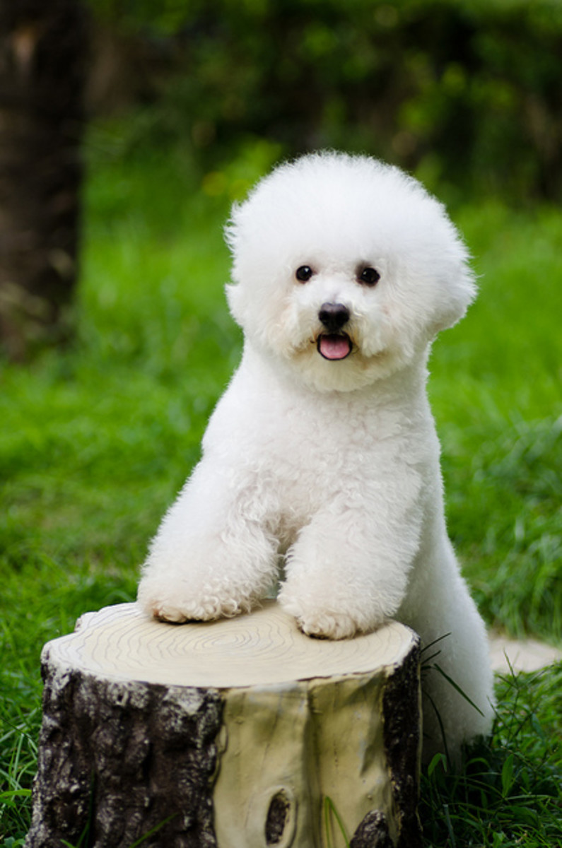 The Bichon Frisé can be macho if you give him the right name.