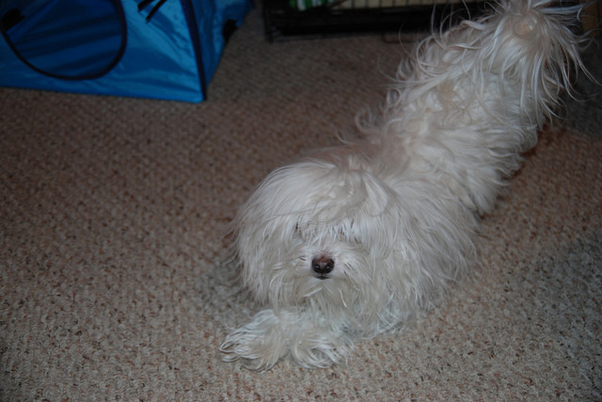 Just looking at a Maltese makes you think of hunting, mountain climbing, and chopping wood. He needs a macho name.