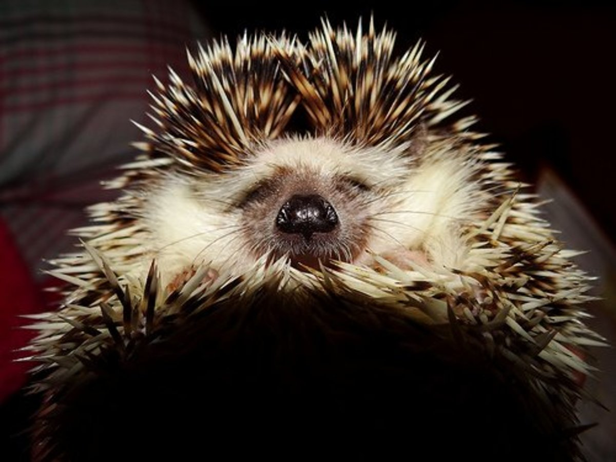 Prickly Hedgehog