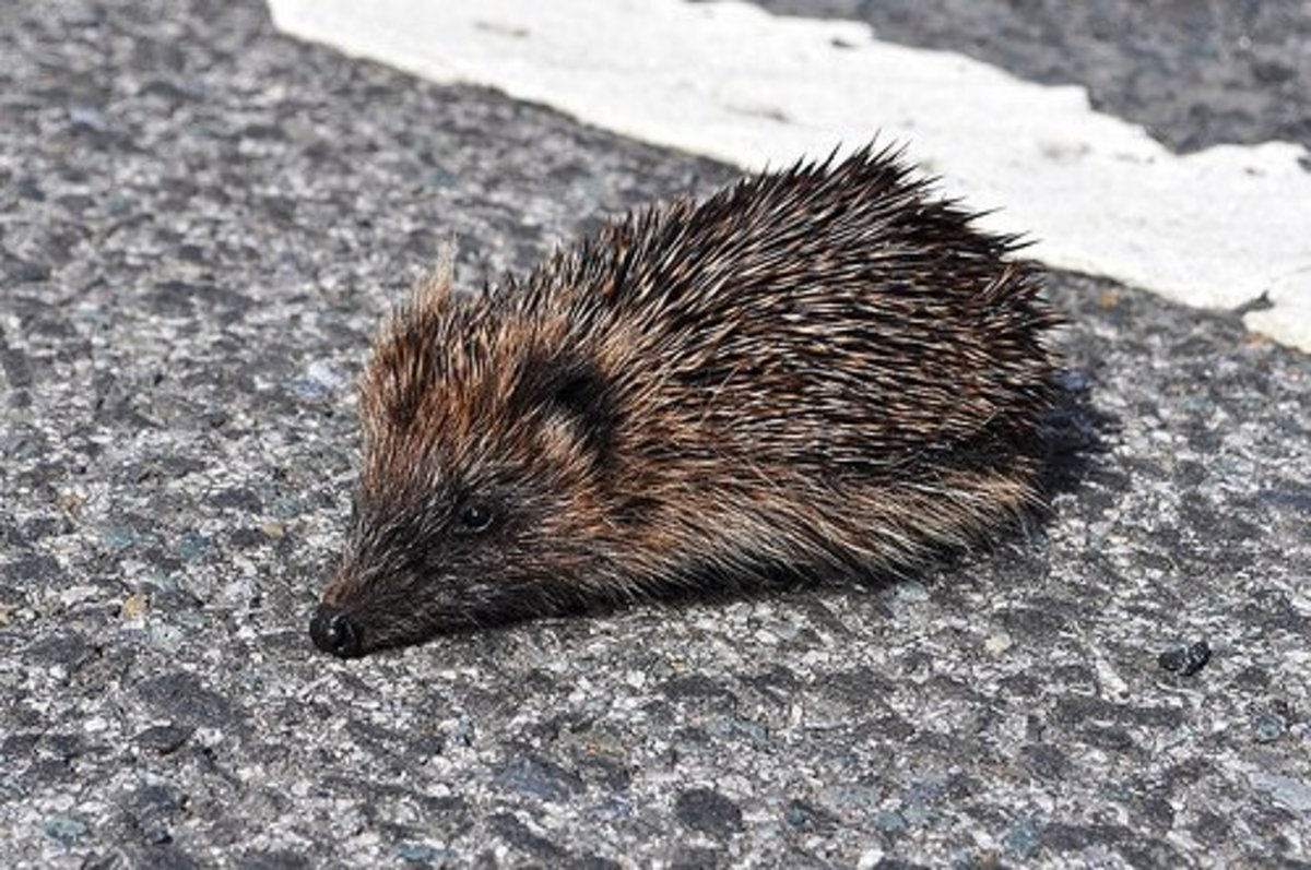 Here's a photo of Prickles, the little Hedgehog, which just wandered across the road, totally oblivious to the traffic