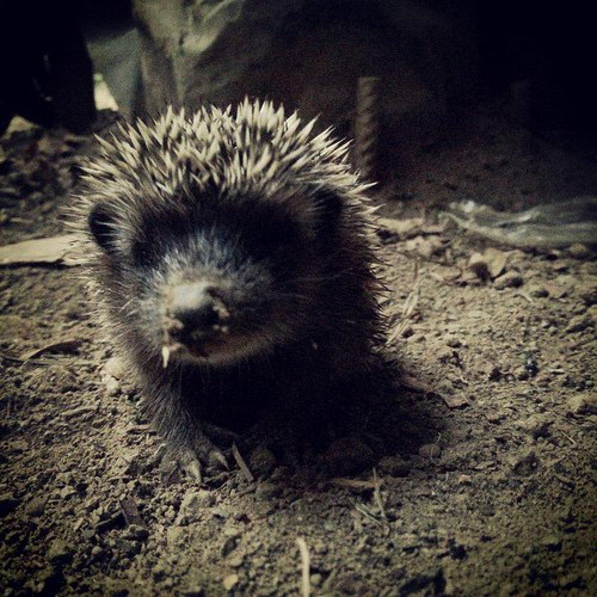 Hedgehog Foraging at Night