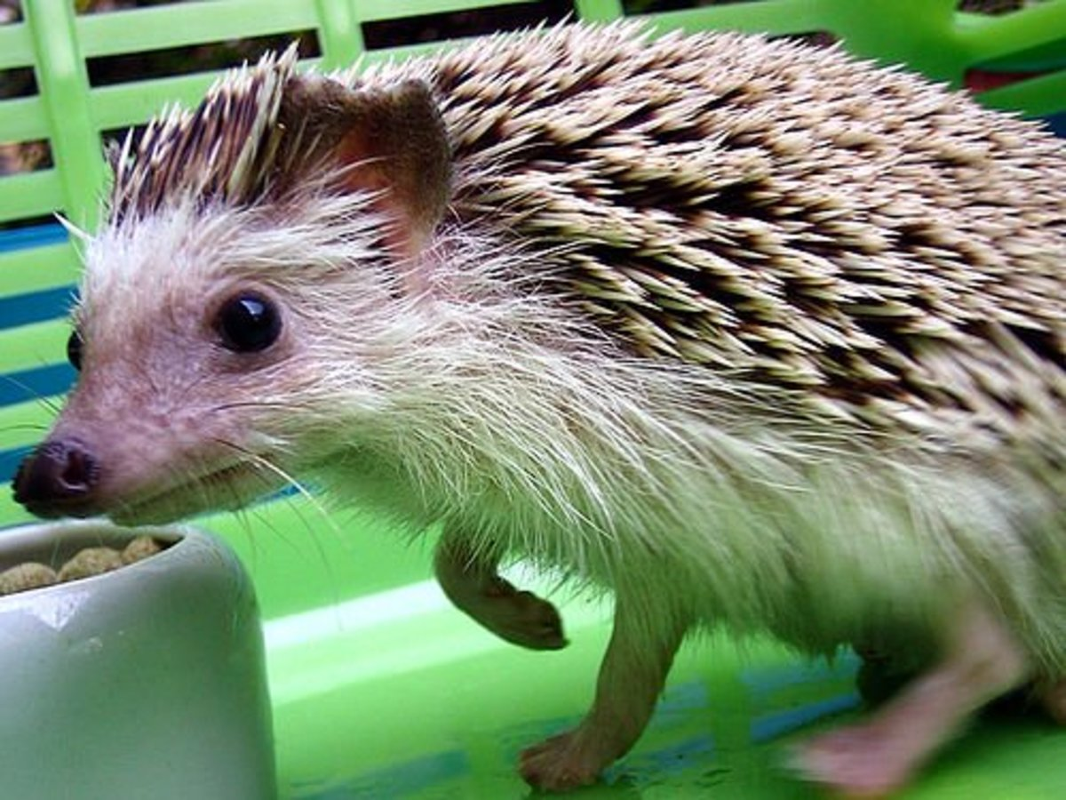 Bright-Eyed Hedgehog